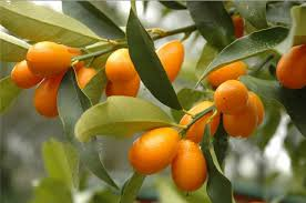 Free Shipping, Bonsai Small Fruit Plants , Potted 18 Piece Small ...