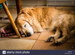 Kitchen Floors Uk Golden Retriever Dog Sleeping On Kitchen Floor In Uk Stock Photo