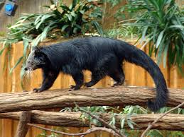 Small Picture Binturong Bearcat Arctictis binturong The body of the