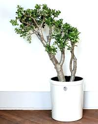 plant tall indoor house plants large houseplants low light indirect live