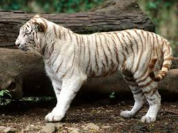 baby white tigers for sale. Perfect Sale Baby White Tigers For Sale To