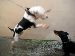 pitbull dog vs doberman. Beautiful Doberman PITBULL VS DOBERMAN With Pitbull Dog Vs Doberman W