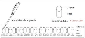 identification bactérienne