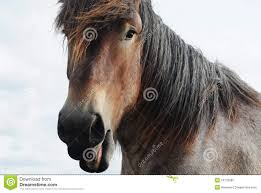 draft horse head profile. Modren Draft Head Of A Brabant Draft Horse With Slightly Open Mouth To Draft Horse Profile A