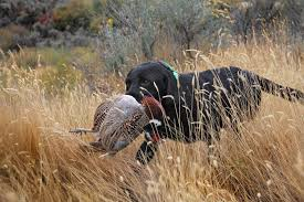 chocolate lab pheasant hunting.  Chocolate According To Dr B W Zeissow In The Origin And Purpose Of The Labrador  Retriever U201cThe American Sportsmen Adopted Breed From England Subsequently  In Chocolate Lab Pheasant Hunting S