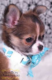 1318 Best Chihuahua Images On Pinterest