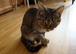 Бывает ли депрессия у кошек стресс у кошки скука негативная  Бывает ли депрессия у кошек