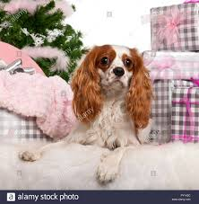 cavalier king charles spaniel 18 months old lying with gifts in front of white background