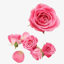 pink rose flower petal gules png and psd