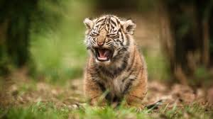 cute baby tigers wallpapers. Perfect Wallpapers Wallpapers Collection Baby Tiger Wallpapers And Cute Baby Tigers 0