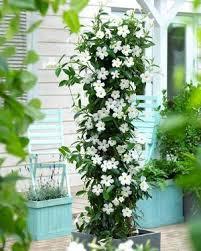 19 Best Pergola Plants  Climbing Plants For Pergolas And Arbors Wall Climbing Plants In Pots