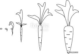 carrot plant stages. Interesting Stages Carrot Growth Stages Coloring Pages And Plant Stages C