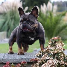 Puppies Bulldog Connection