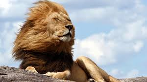 Animal, Lion, Wind, Big, Cat Wallpaper ...