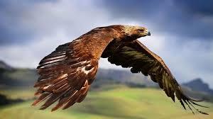 golden eagles flying. Contemporary Golden Aigle Royal Golden Eagle Flying On Golden Eagles Flying E