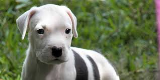 terrier pitbull puppies.  Puppies American Pit Bull Terrier Puppy Picture And Pitbull Puppies N