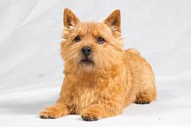 Cairn Terrier Growth Chart Norwich Terrier Dog Breed Information