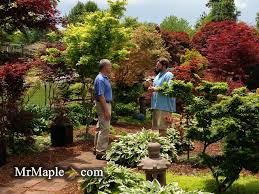Small Picture Garden Design With Only Japanese Maples garden Pinterest