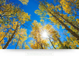 colorado wall art of aspen trees in fall colors with sunlight and a blue sky