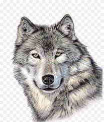 gray wolf face drawing. Exellent Drawing Gray Wolf Drawing Art Tattoo Throughout Wolf Face R