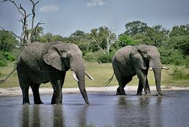 Afbeeldingsresultaat voor olifanten