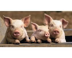 Afbeeldingsresultaat voor varkens