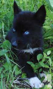 black husky puppies with blue eyes. Perfect With All Black Siberian Husky Puppy  It Looks Almost Identical To Jakey When He  Was A Baby Weu0027ll Pretend Thatu0027s Dog To Puppies With Blue Eyes I