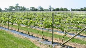 Grape Vine Trellis Ideas