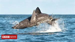 <b>Great flight</b> shark: Gentle giants prove to be fast and agile - BBC News