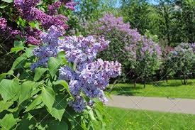 Lilacs In Landscape Design Beautiful Garden Blooming Lilacs Photos By Canva