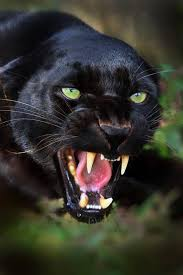 Image result for images of panther