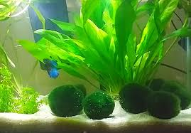 Decorative Betta Fish Bowls Best decorations and plants recommended for a small Betta fish tank 25