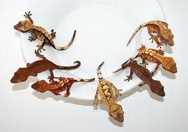 Crested Gecko Morph Madness
