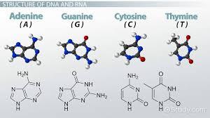 Nucleic Acids Function Structure Video Lesson Transcript