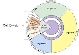 Cell Cycle Interphase Lessons Tes Teach Cell Cycle