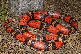 milk snake size honduran milksnake history and care tips