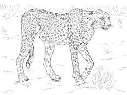cheetah coloring pictures. Interesting Coloring Cheetah Coloring Page For Coloring Pictures A