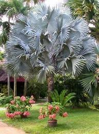 fan palm trees. hinterland trading mexican blue fan palm tree 5 seeds brahea armata trees