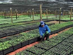 Resultado de imagem para produtores replantam floresta no sul da bahia