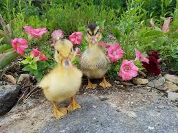 Raising Ducklings Naturally Fresh Eggs Daily
