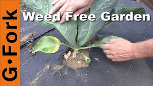 natural weed control in the vegetable garden gardenfork