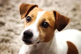 Jack Russell Terrier Gebraucht Kaufen Nur 2 St Bis 70