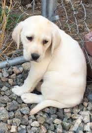 american yellow lab puppies.  American Chocolate Lab Puppies Classifieds  Buy U0026 Sell Across  The USA Page 77 AmericanListed On American Yellow Lab Puppies