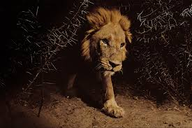 why new u s protections for lions matter picture of a lion at night in