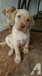 american yellow lab puppies. Brilliant American Pets And Animals For Sale In Eagle Rock Missouri  Puppy Kitten  Classifieds Buy Sell Kittens Puppies Americanlistedcom To American Yellow Lab Puppies U