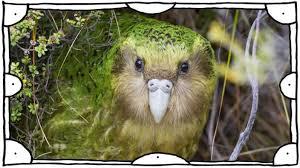 Dabei kann es vorkommen, dass die gleiche art auch mehrfach mit diesem. Neuseeland Kakapo Ist Vogel Des Jahres Panorama Sz De