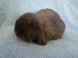 Mini Lop Colour Chart Lauras Mini Lops History Colours Info