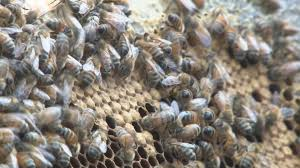 Central Ga. beekeepers see dwindling bee population | 13wmaz.com