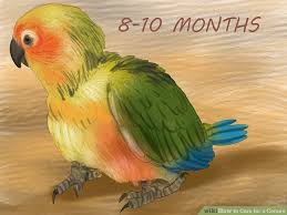 Sun Conure Growth Chart How To Care For A Conure With Pictures Wikihow