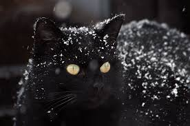 Image result for black cats in snow